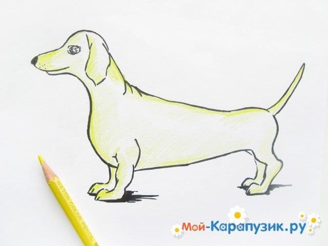 Поэтапное рисование таксы цветными карандашами - фото 10
