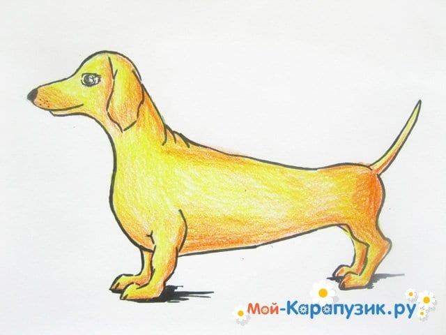 Поэтапное рисование таксы цветными карандашами - фото 11