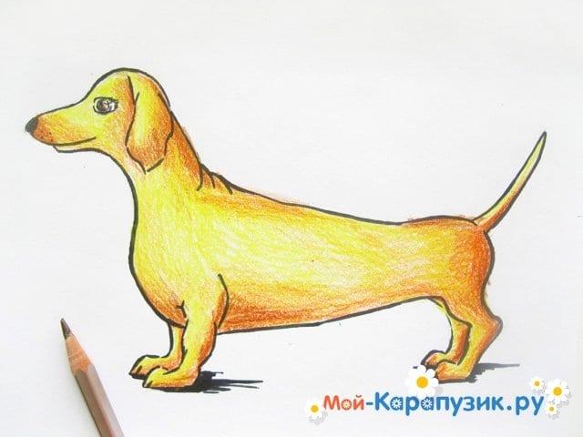 Поэтапное рисование таксы цветными карандашами - фото 12