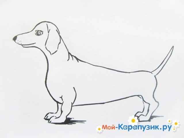 Поэтапное рисование таксы цветными карандашами - фото 9